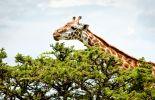 Giraffe's Kenya
