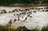 Wildebeest crossing a river during the Great Migration