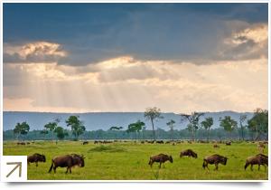 Wildebeest on the plains of the Masai Mara