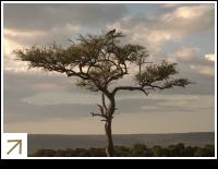 Acacia tree at sunset in the Masai Mara