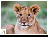 Lion Cub - Masai Mara