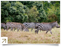 Zebra's in Lake Nakuru